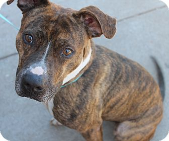 Boxer/Pit Bull Terrier Mix Dog for adoption in Yukon, Oklahoma - Gingersnap