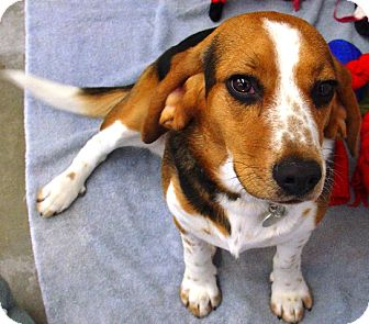 Beagle Mix Dog for adoption in Kalamazoo, Michigan - Jessie