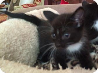 Domestic Shorthair Kitten for adoption in Savannah, Georgia - Brigit