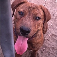 Pit Bull Terrier Mix Puppy for adoption in Nuevo, California - Chacko