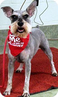 Standard Schnauzer Dog for adoption in Ada, Oklahoma - IRA