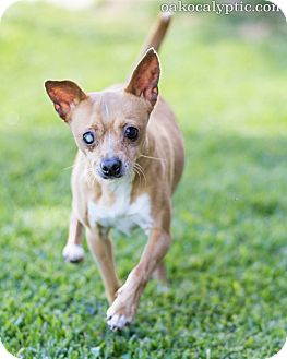 Chihuahua Mix Dog for adoption in Oakland, California - Brutus
