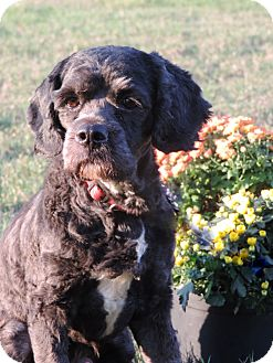 Cockapoo Mix Dog for adoption in Anderson, South Carolina - Jet