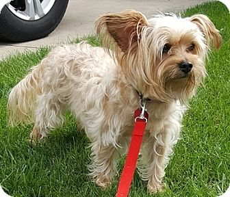 Yorkie, Yorkshire Terrier/Maltese Mix Dog for adoption in Beavercreek, Ohio - Dixie