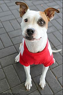 American Staffordshire Terrier/Boxer Mix Dog for adoption in Jacksonville, North Carolina - Medina