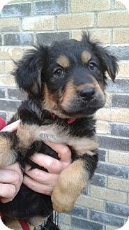 Shepherd (Unknown Type) Mix Puppy for adoption in White Settlement, Texas - Emma