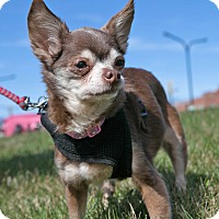 Adopt A Pet :: Lovey - Mt. Prospect, IL