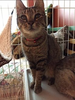 Domestic Shorthair Cat for adoption in Columbia, South Carolina - Eartha Kitten