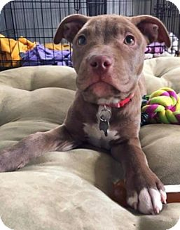 Labrador Retriever/Pit Bull Terrier Mix Puppy for adoption in Detroit, Michigan - Rainbow-Adopted!
