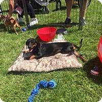 Adopt A Pet :: Louie - Vacaville, CA