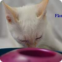 Adopt A Pet :: Flame - Miami Shores, FL