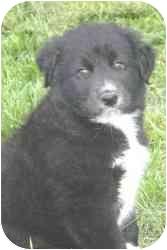 Border Collie/Anatolian Shepherd Mix Puppy for adoption in Carrollton, Texas - Lucy 2