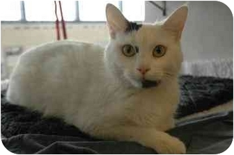 Domestic Shorthair Cat for adoption in Walker, Michigan - White Cat