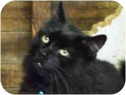 Domestic Longhair Cat for adoption in Pasadena, California - Ramses