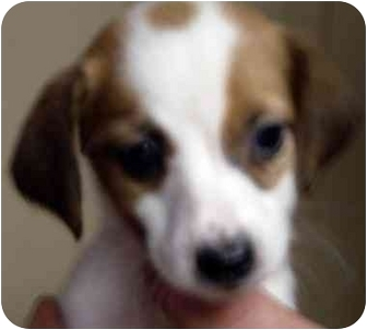Dachshund/Cocker Spaniel Mix Puppy for adoption in Harrison, Arkansas - Dot