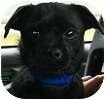 Pug/Chihuahua Mix Dog for adoption in Hamilton, Ontario - Happy