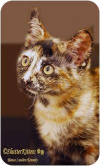 Domestic Shorthair Kitten for adoption in Encinitas, California - Cinnamon