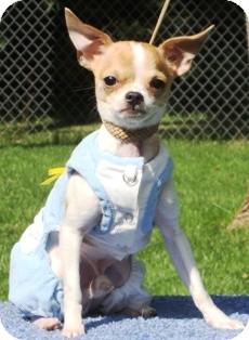 Chihuahua Dog for adoption in Osseo, Minnesota - Elliott