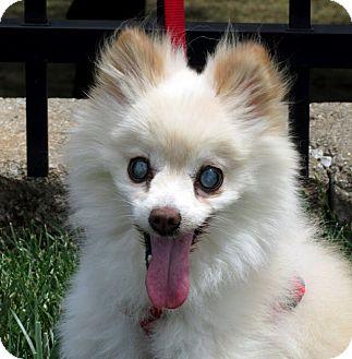 Pomeranian Dog for adoption in Overland Park, Kansas - Feisty