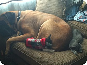Mastiff Dog for adoption in Greenfield, Indiana - Maximus
