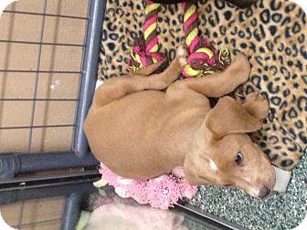 Beagle/Labrador Retriever Mix Puppy for adoption in Simi Valley, California - Jet