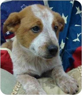 Australian Cattle Dog Mix Puppy for adoption in Brenham, Texas - Pam