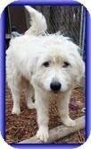 Great Pyrenees/Irish Wolfhound Mix Dog for adoption in Staunton, Virginia - Fuzz