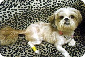 Lhasa Apso/Shih Tzu Mix Dog for adoption in Los Angeles, California - GINNY