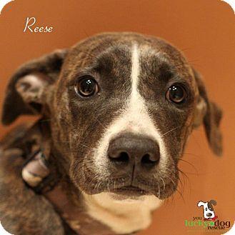 Greyhound Mix Puppy for adoption in Alpharetta, Georgia - Reese