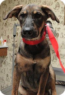 German Shepherd Dog Mix Puppy for adoption in Poway, California - RUBEN