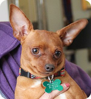 Papillon/Chihuahua Mix Dog for adoption in Stamford, Connecticut - Tootsie