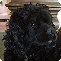 Adopt A Pet :: LULU - Toluca Lake, CA