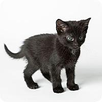 Adopt A Pet :: Satin - Rockaway, NJ