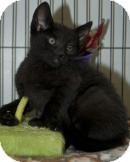 Domestic Shorthair Kitten for adoption in Wayne, New Jersey - Asphalt