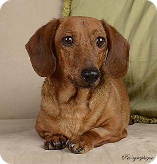 Dachshund Mix Dog for adoption in Las Vegas, Nevada - Carson