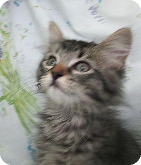 Domestic Longhair Kitten for adoption in Pueblo West, Colorado - Annie