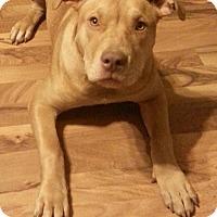 Adopt A Pet :: Abigail - Russellville, KY