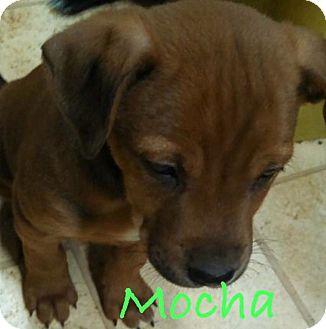 Labrador Retriever Mix Puppy for adoption in Salem, Massachusetts - Mocha
