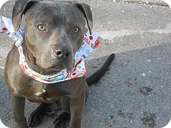American Staffordshire Terrier Mix Dog for adoption in Rochester Hills, Michigan - Roman