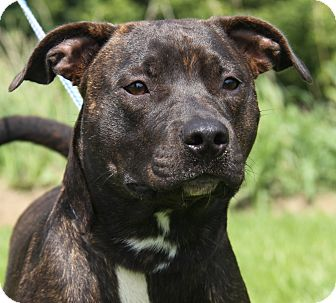 American Staffordshire Terrier Mix Dog for adoption in Marietta, Ohio - Lola (Spayed)