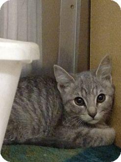 Domestic Shorthair Kitten for adoption in Pueblo West, Colorado - Gerda