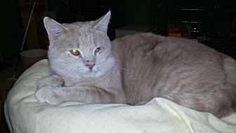 Domestic Shorthair Cat for adoption in Iroquois, Illinois - Red Eyes