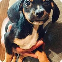Adopt A Pet :: Boomer - Ocala, FL