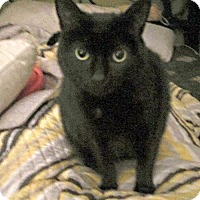 Domestic Shorthair Cat for adoption in Baltimore, Maryland - Pepper
