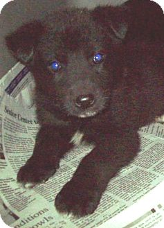 Husky Mix Puppy for adoption in Pompton Lakes, New Jersey - 3 HUSKY PUPPIES LEFT