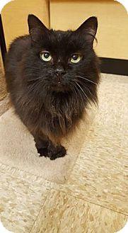 Hemingway/Polydactyl Cat for adoption in Hazel Park, Michigan - Jennessee