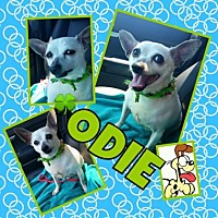 Chihuahua Mix Dog for adoption in Scottsdale, Arizona - Odie2