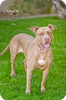 American Pit Bull Terrier/American Bulldog Mix Dog for adoption in Phoenix, Arizona - Eva~ Courtesy Post