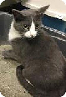 Domestic Shorthair Cat for adoption in Columbus, Georgia - Zapatos 4898