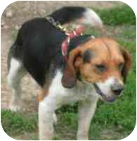 Beagle Mix Dog for adoption in FAYETTE, Maine - TIMOTHY